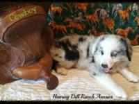Ranch Raised ASDR Toy / Mini Aussie Puppies Cowboy|Blue