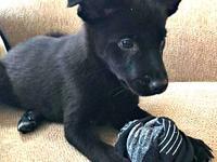 Cowboy's story Cowboy is an 8-9 week old collie mix,