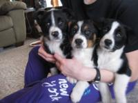 Four Female Cowboy Corgis puppies ready to find good