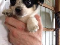 Gorgeous Healthy Cowboy Corgi young puppies. Have had