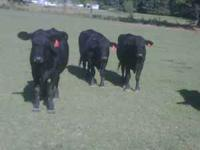 20 cows black, black baldies, char cross & a few reds