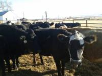 We have 50 bred cows for sale. For more information
