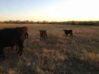 I have 4 bred cows should be calving soon. I also have