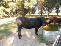 I have a 14 month old black angus/ beef master bull.