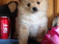 This priceless little Pomeranian will certainly be
