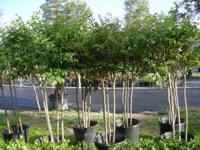 Thompsons Nursery has 15 gal Crape Myrtle Trees on sale