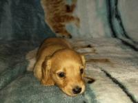 For sale is a beautiful long hair Miniature Dachshund.