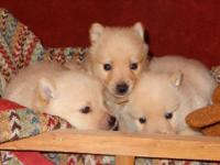 Male Cream Schipperke Puppy from Champion UK and