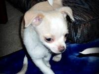Very cute smooth coat chihuahua male. Born August 16th.