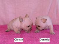 AKC French Bulldog Puppies ? Cream Colored 7 pups