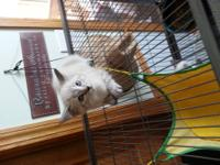 Cream colored male Himalayan. He is very sweet and