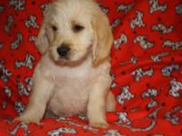Kaiser is a 7 week old cream labradoodle. Raised in the