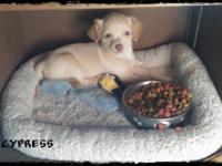 The puppy is a medium coat pure reproduced CKC