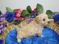 This is  Sam  our handsome Cavachon Male Puppy. He