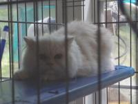 Cream 3-month old male Persian kitten for sale.