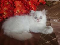 Gorgeous Cream-Point Persian Kitten -- 10 weeks old
