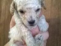 TINY toy poodle cream male. Born 12/13/14 ready