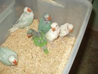 I have one creamino and one albino Indian Ringneck Baby