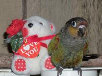 The beauty of the Crimson Belly Conure is not only the