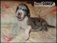This terrific boy is from a litter of 14 Great Dane