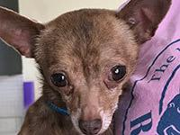 Crosby is a 6 year old Chihuahua and was saved from a