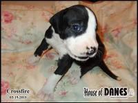 Crossfire is a beautiful little girl. One of a litter