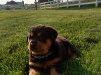 Crystal is a AKC registered Rottweiler puppy who is