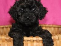 Crystal is an F1 Cavapoo. She is black with brown