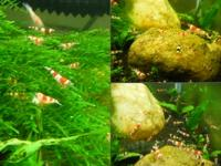 AM SELLING S+ GRADE CRYSTAL RED & BLACK SHRIMPS. I SELL