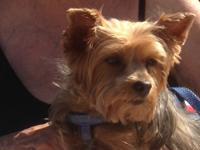 Darling girl! Crystal is an 8 yr old Yorkie female who