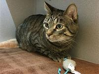 Cubby Bear's story Primary Color: Brown Tabby Weight: