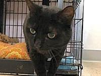 My story pretty older Domestic short-hair black