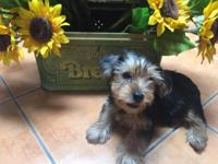 I am Cuddles the male yorkie puppy I am the biggest guy