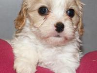 We have 3 beautiful Cavachon puppies available;1 boy