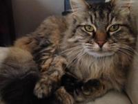 Hi, I am Cleo a gorgeous long haired tabby cat. I have