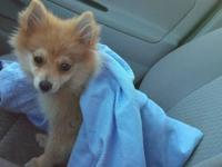 I am selling my little baby teacup Pomeranian. She is