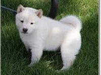 Animal Type: Dogs white shiba inu puppies still
