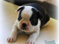 Beautiful Boston Terrier puppy male, female,bred for