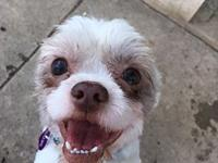 Cupi's story Cupi is a 2 year old Shih Tzu who
