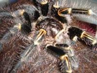 TARANTULAS!!! Super intresting pets & very