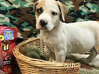 Curly's story Curly is a white and tan male Hound and