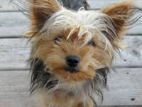 I have a unaltered female Yorki by the name of Sassy.