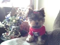 I have one male yorkie puppy for sale, he is up on