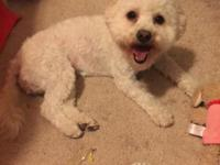 very adorable 1 year old female maltipoo needs a new