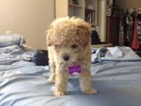 Loving and adorable mini poodle needs a new home! She