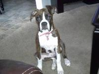 I have a beautiful 7 month old female brindle pitbull.
