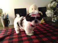 I have one femal shih tzu puppy for sale, she ckc