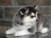 Beautiful 8 weeks old Pomsky puppy. 1 boy left, been