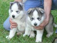 RESERVE YOURS TODAY!!! I have 3 male siberian husky