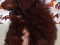 Adorable lil blue male purebred toy poodle, Dad is a